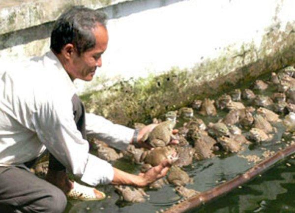 Lãi hàng chục triệu đồng mỗi năm từ nuôi ếch